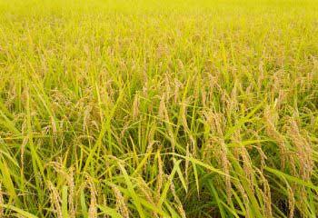 ブランド重視だけのお米選びは損!? では、どんなお米を選べばいいの?